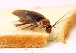 الصراصير على الطعام