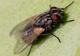 الذباب من الحشرات المنتشرة في رأس الخيمة