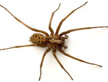 Giant house spider Tegenaria Gigantea