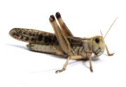الجراد من الحشرات النطاطة وبعضها يصدر اصوات مزعجة