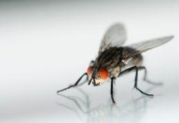الذباب من الحشرات الطائرة المنتشرة في راس الخيمة