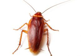 الصراصير من الحشرات التي تنتشر في المطابخ في رأس الخيمة