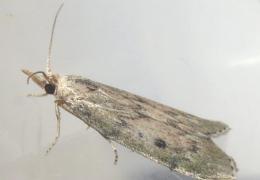 حشرة العث من الحشرات الطائرة ويسمى ابودقيق