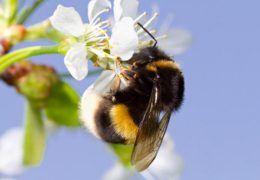 النحل من الحشرات الطائرة تلدغ الانسان