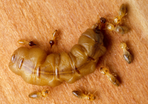 عن النمل | ملكة النمل الابيض
