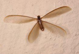 النمل الابيض من الحشرات التي تصيب المنازل وتدمر الاثاث والفراش