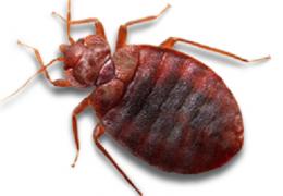 البق من الحشرات وتسمي حشرة السرير