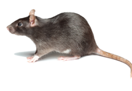 فضلات الفئران تسبب انتشار الحشرات