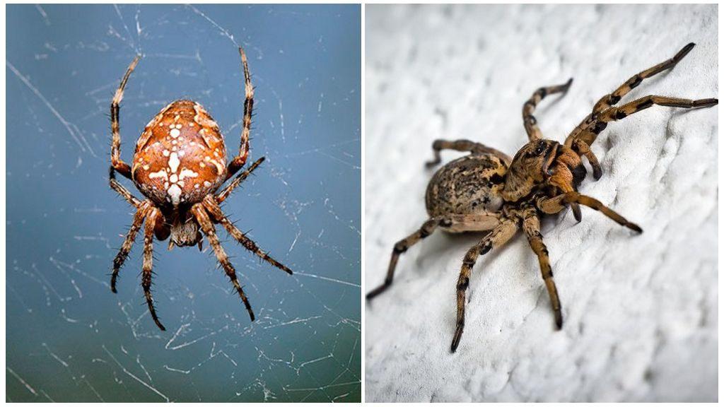حشرة العنكبوت