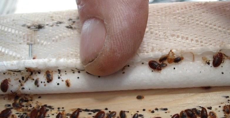 حشرة البق .