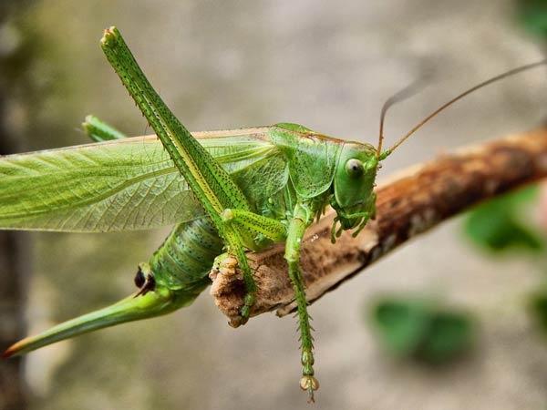 حشرة الجراد