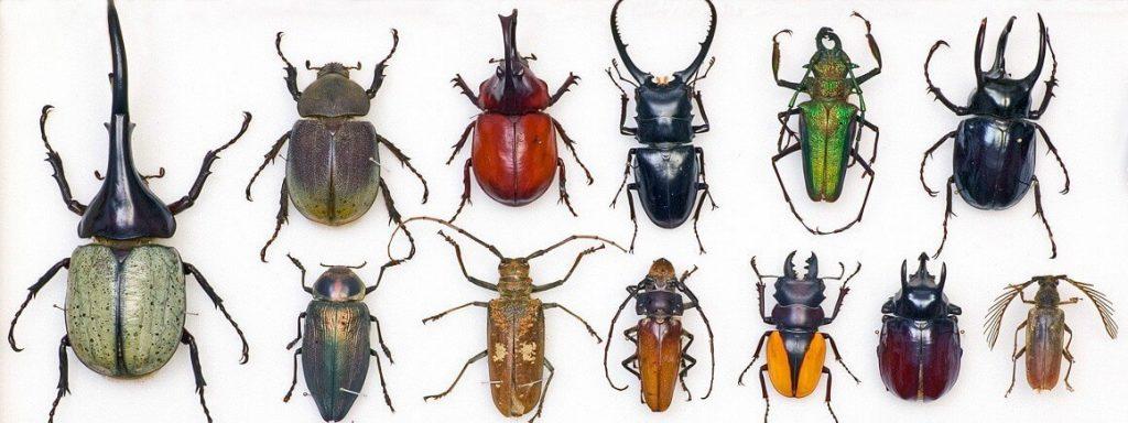 حشرة الخنافس