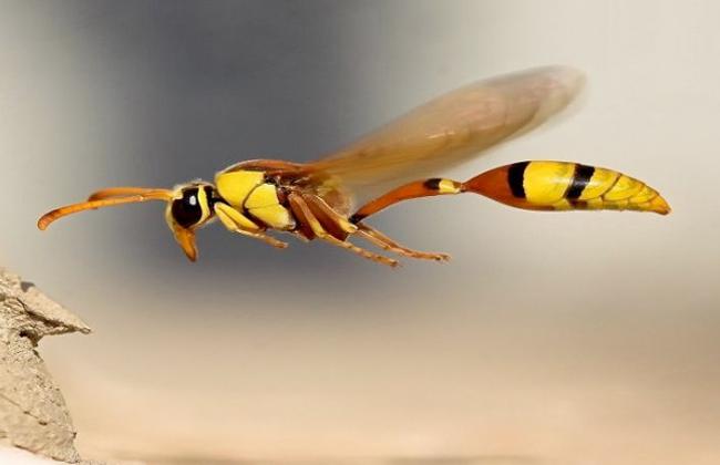حشرة الدبابير