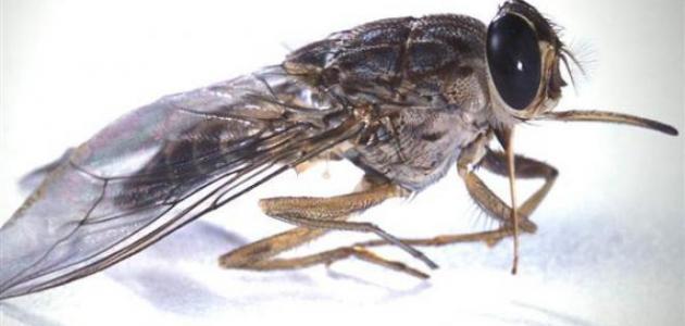 حشرة الذباب