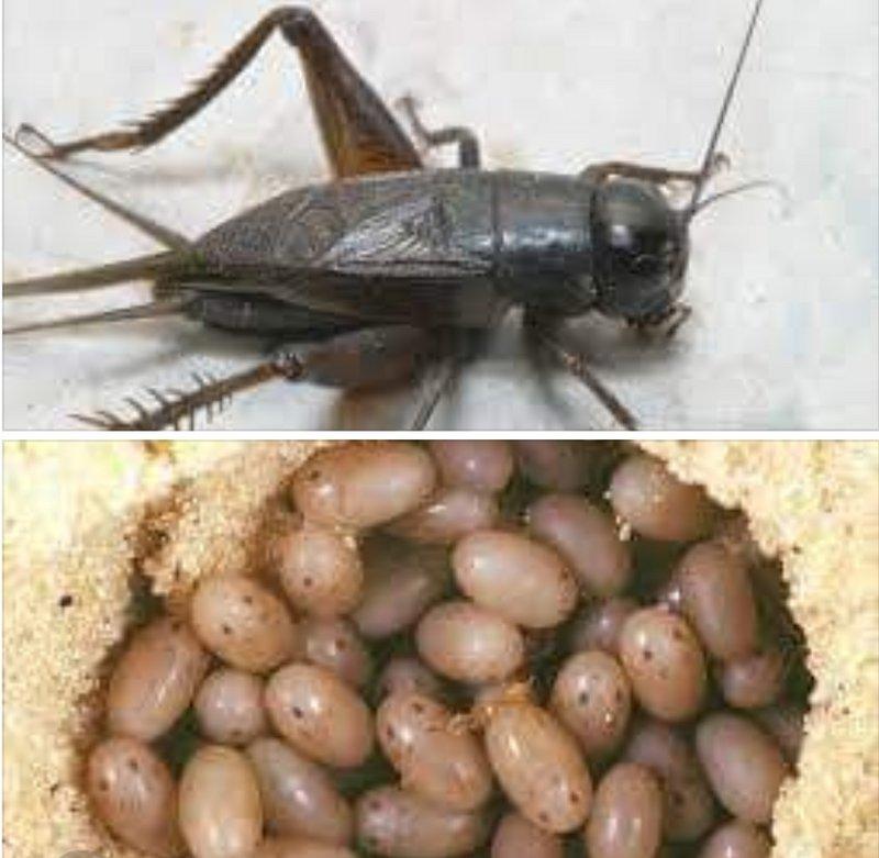 حشرة الصراصير