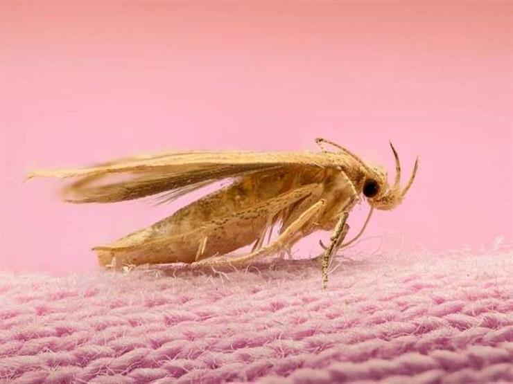 حشرة العث