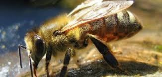 حشرة النحل