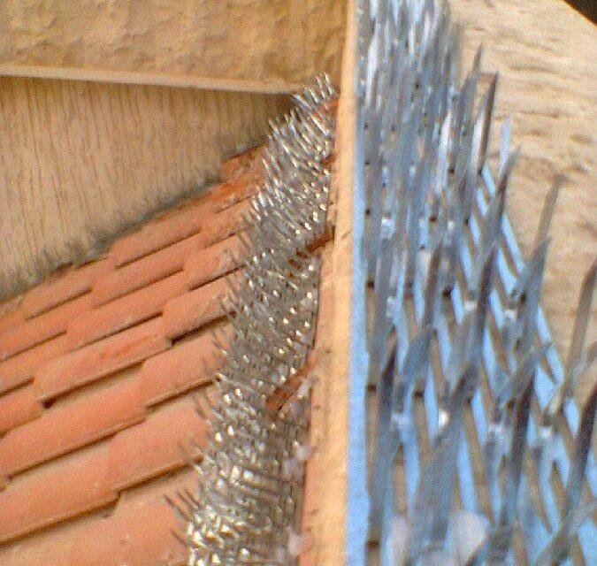 شوك طارد الحمام في مصر