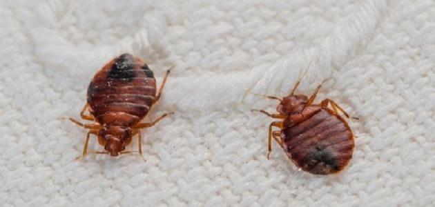 حشرة البق